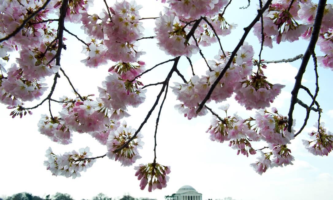 Cerejeira emoldura o Memorial Jefferson (ao fundo) em Washington DC. A floração anual deve atingir seu auge no fim de semana. Mais de três mil árvores do gênero enfeitam a cidade ao longo do National Mall e do Memorial Park. As primeiras mudas foram plandas em 1912, como um presente de Yokohama, no Japão para a capital americana KAREN BLEIER / AFP