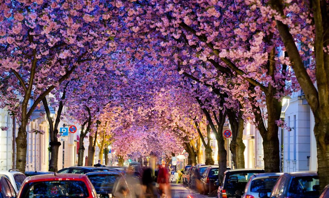 Ás cerejeiras também florecem e formam um túnel vivo e colorido nua rua da cidade de Bonn, na Alemanha ROLF VENNENBERND / AFP