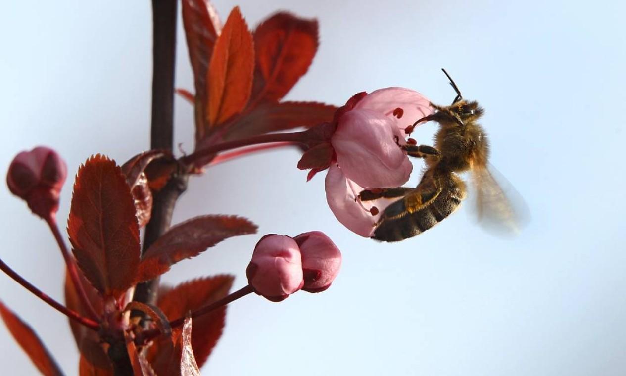 A abelha colhe pólen de uma flor de cerejeira em Fuessen, na Alemanha Foto: KARL-JOSEF HILDENBRAND / AFP