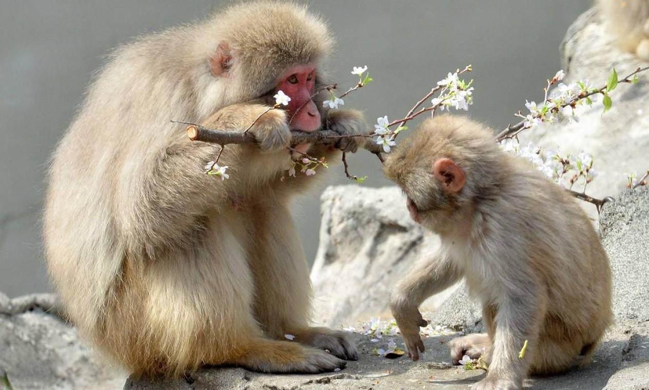 As flores das cerejeiras são alimento favorito dos macacos no jardim zoológico de Ueno Foto: YOSHIKAZU TSUNO / AFP