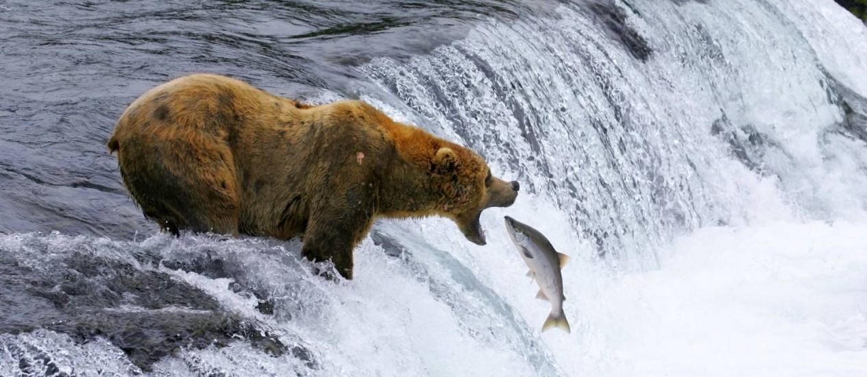 Urso pega salmão no Katmai National Park and Preserve no Alasca. A cena em slow motion é parte do filme Parks Adventure IMAX, que celebra o centenário do National Park Services nos EUA Foto: Brad Ohlund / AP