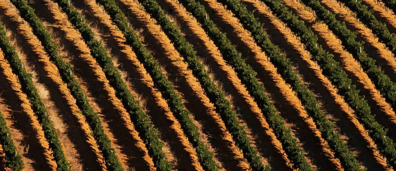 A seca também afeta os vinhedos nos arredores da Cidade do Cabo Foto: MIKE HUTCHINGS / REUTERS