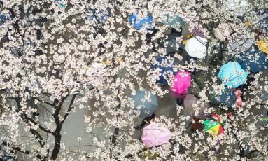 """Primavera. Na universidade de Wuhan, na China, pedestres se protegem da """"chuva"""" de flores de cerejeira Foto: AFP"""