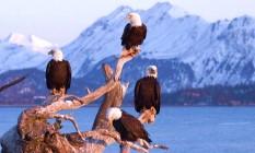 Alasca. Cerca de 50 mil águias-de-cabeça-branca vivem em cidades como Juneau e Unalaska Foto: Laura L. Whitehouse / Wikimedia Commons
