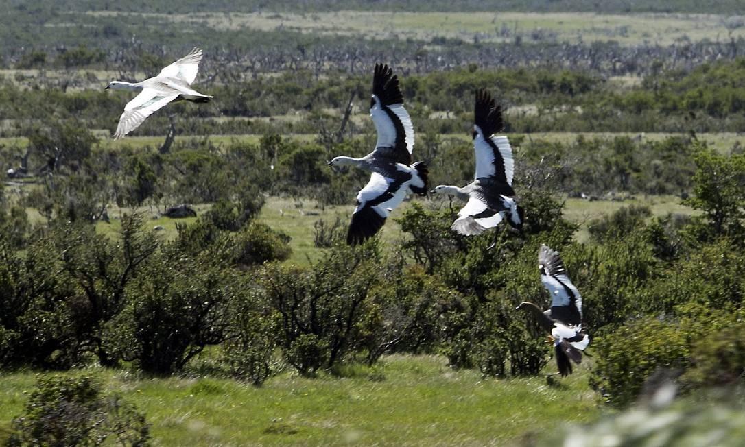 Pampas da Patagônia, na Ruta del Fin Del Mundo: gansos silvestres voam perto de Puerto Natales Foto: Edilson Dantas / Agência O Globo