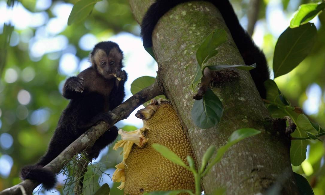 Macacos-prego da Serra da Capivara utilizam pedras como ferramentas há pelo menos 3 mil anos Foto: Letícia Pontual