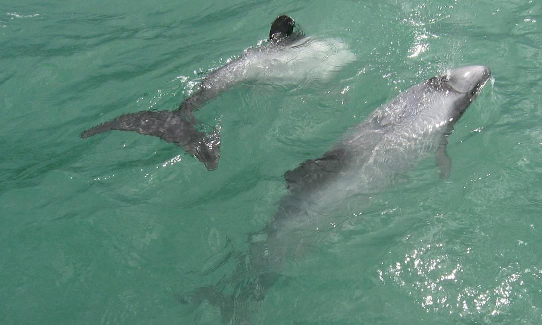 Golfinhos de Hector, a qual a subespécie de Maui pertence: risco de extinção Foto: Reprodução / Wikipedia