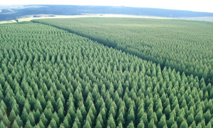 Área de reflorestamento de eucalipto da Brookfield em Montes Claros (MG). O fundo vende eucalipto para a indústria de papel e celulose Foto: Divulgação
