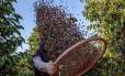 Trabalhador em plantação de café em Guaxupé, no estado de Minas Gerais Foto: Patricia Monteiro / Bloomberg