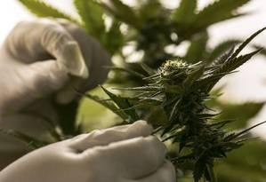 Técnico inspeciona uma planta de maconha. Foto: Dennis M. Rivera-Pichardo / Photographer: Dennis M. Rivera-P