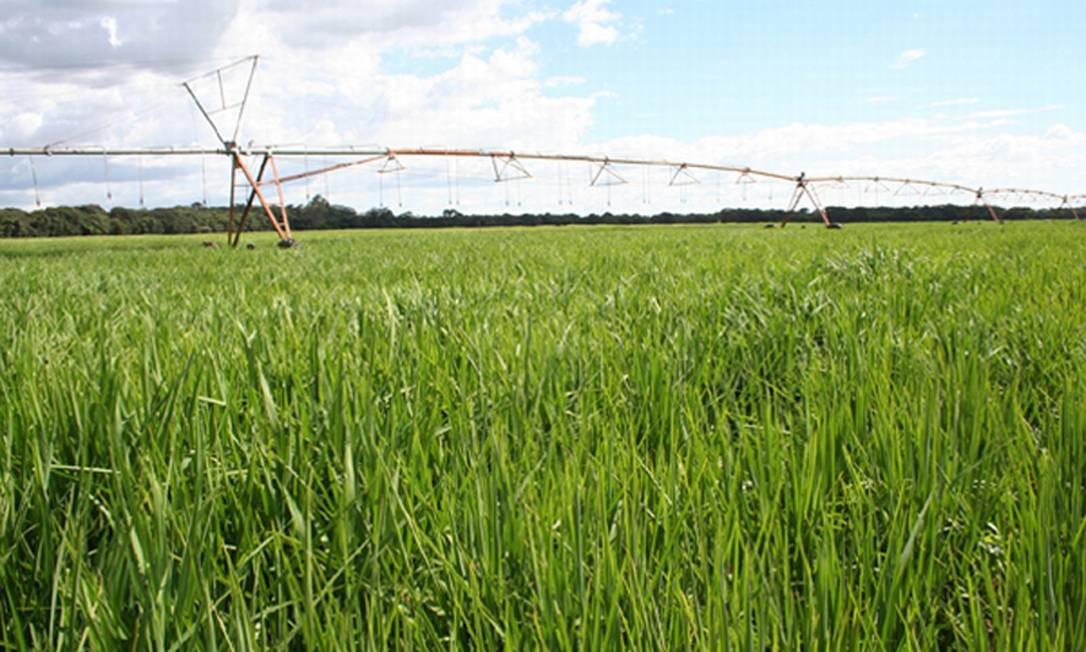 Plantação de arroz Foto: Divulgação