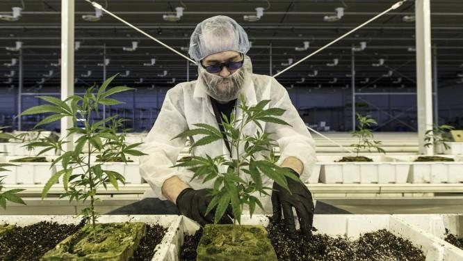 Trabalhador cuida de plantas de maconha na Aurora Cannabis, em Alberta, no Canadá Foto: Jason Franson / Bloomberg
