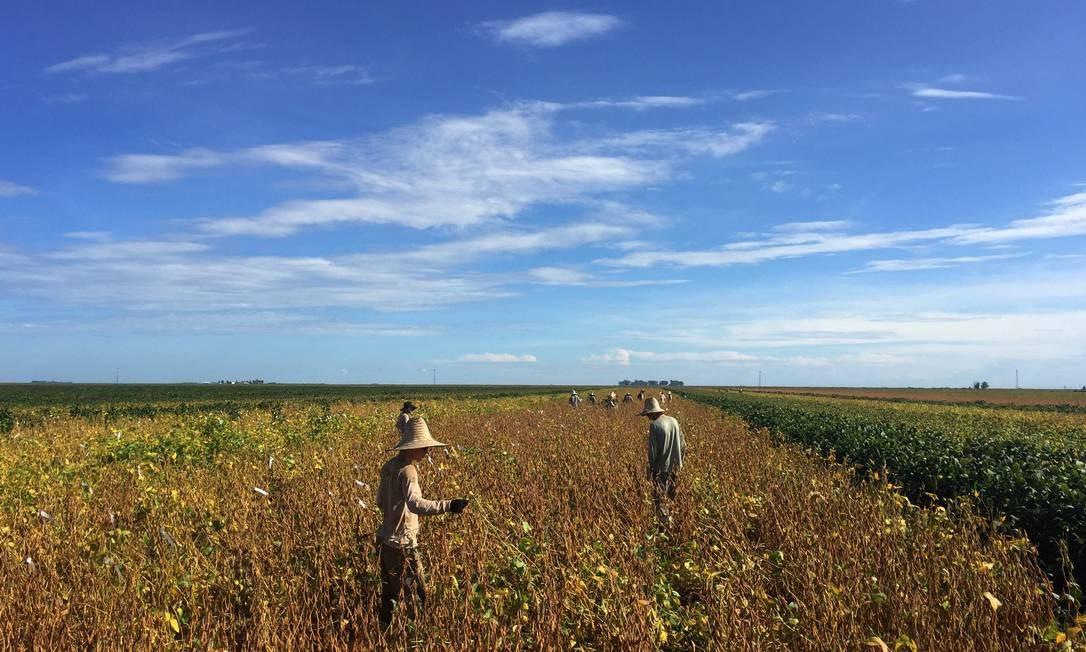 Trabalhadores em uma plantação de soja na Bahia Foto: Roberto Samora / Agência O Globo