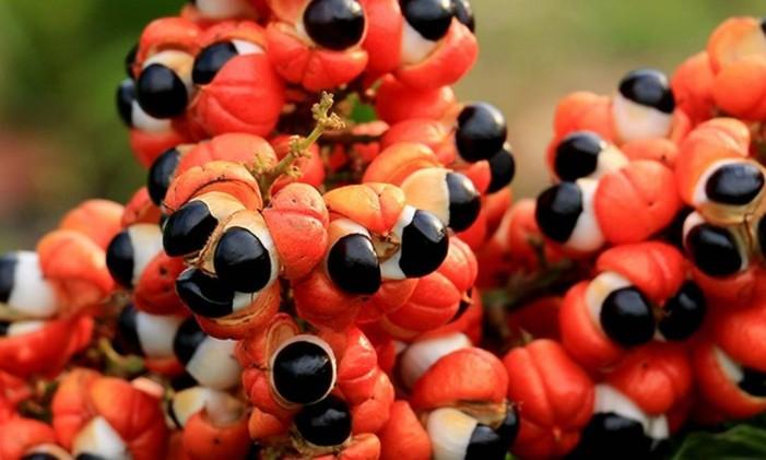 Produção de guaraná em Maués, na Amazônia Foto: Indicação Geográfica - Sebrae Dados