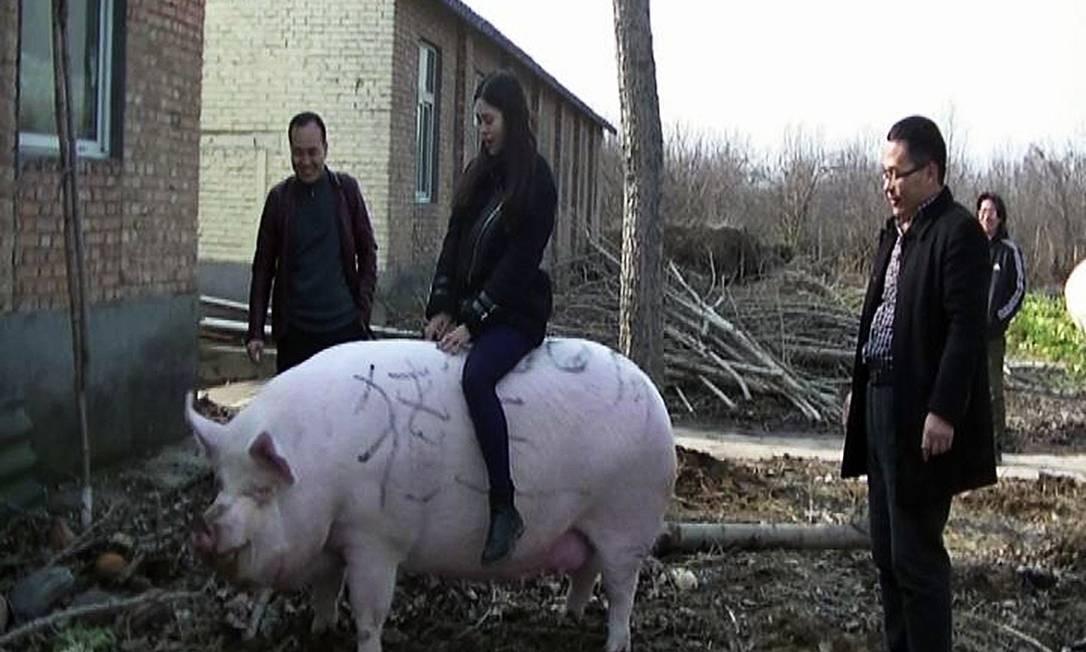 Porcos gigantes criados na China Foto: Bloomberg