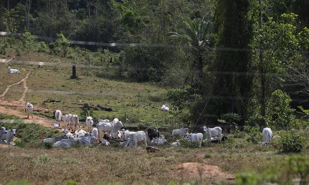 Animais criados na Região Amazônica: grandes frigoríficos querem evitar gado de áreas desmatadas ilegalmente Foto: Jorge William / Agência O Globo