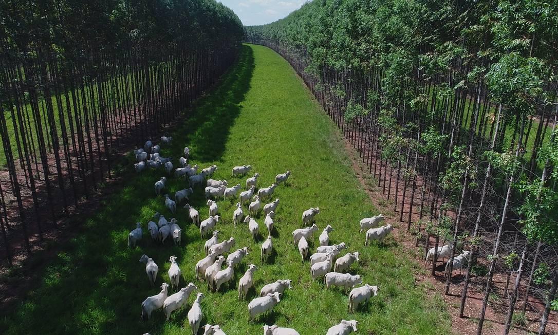 Dentro de seu programa de sustentabilidade, a Marfrig integra a pecuária à floresta. O gado pasta em uma área em que também há plantação de eucalipto, reduzindo emissões de carbono Foto: . / Divulgação