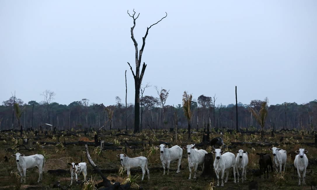 Gado na Amazônia após fogo na floresta: aumento das áreas para plantação e pasto não implicou em geração de empregos na região Foto: BRUNO KELLY / Reuters