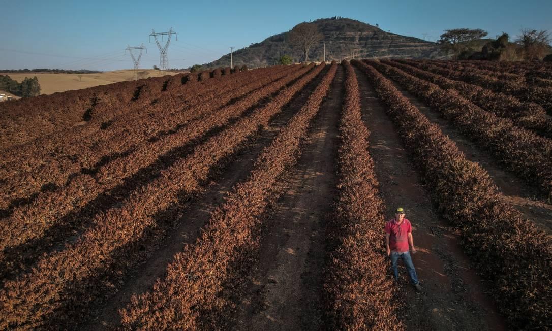 Uma fazenda de café destruída pela geada durante período de temperaturas muito baixas perto de Caconde, no estado de São Paulo Foto: Jonne Roriz / Bloomberg