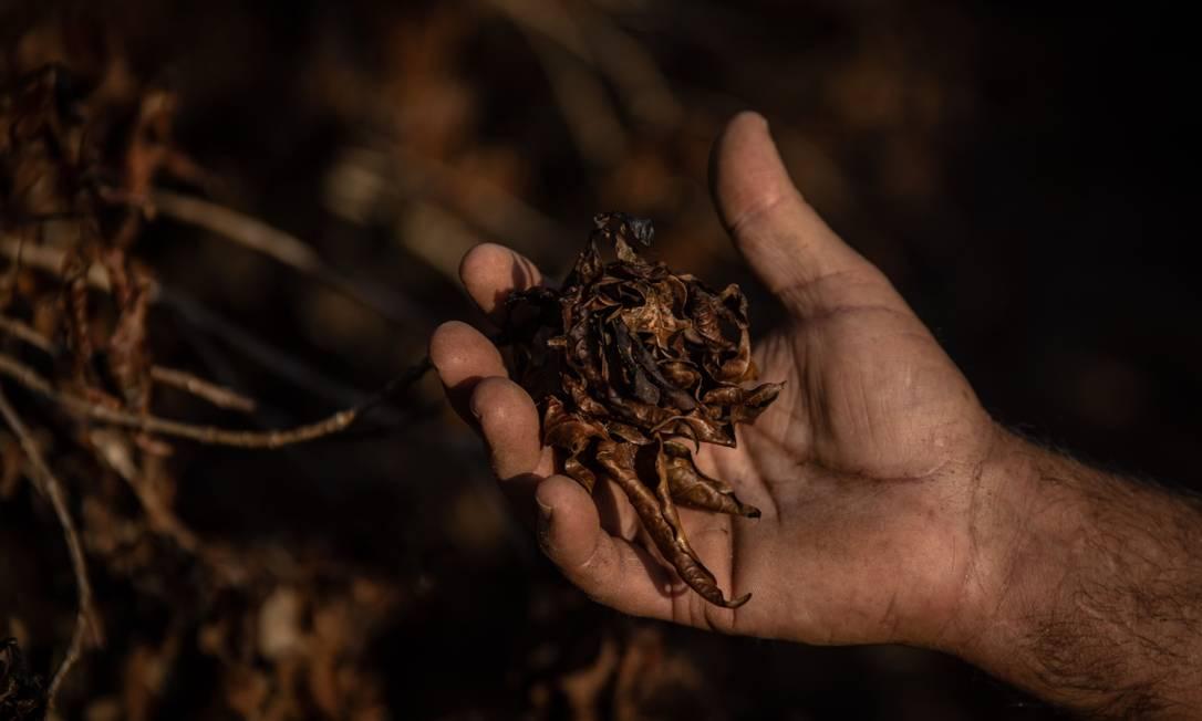 Fazendeiro checa plantas de café destruídas pela geada durante períodos de temperaturas muito baixas na região de Caconde, em São Paulo Foto: Jonne Roriz / Bloomberg