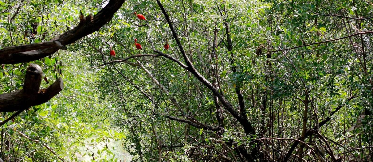Um grupo de guarás repousa abrigado em um manguezal paraense, no Litoral Norte brasileiro Foto: Mariana Vargas Cruz/ Divulgação