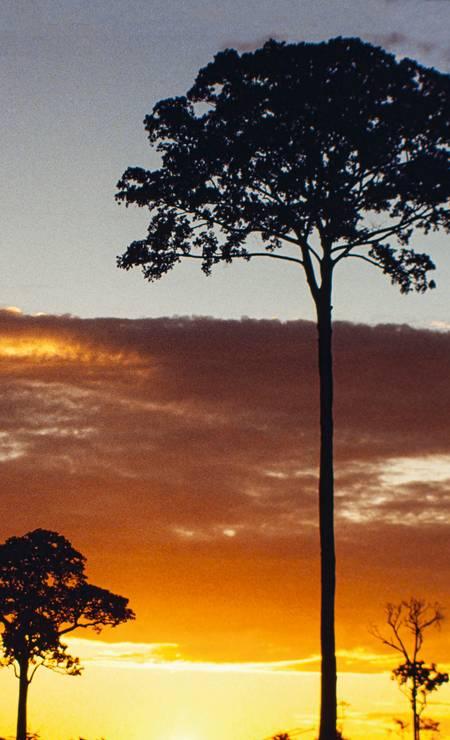 Com suas copas altas que atingem até 45 metros de altura, as castanheiras-do-pará destacam-se na floresta. Foto: Ricardo Funari / Brazil Photos / LightRocket via Getty Images