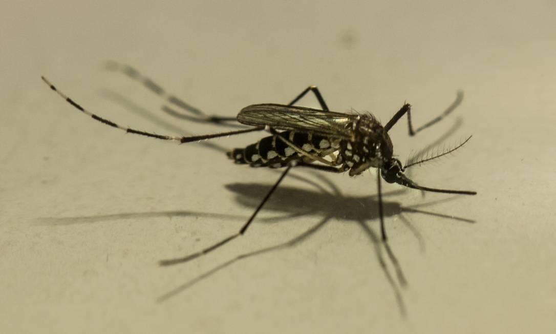 Exemplar do mosquito Aedes aegypti, vetor de doenças graves, como dengue, zika e chicungunha: não existe 'supermosquito transgênico' Foto: Brenno Carvalho / Agência O Globo