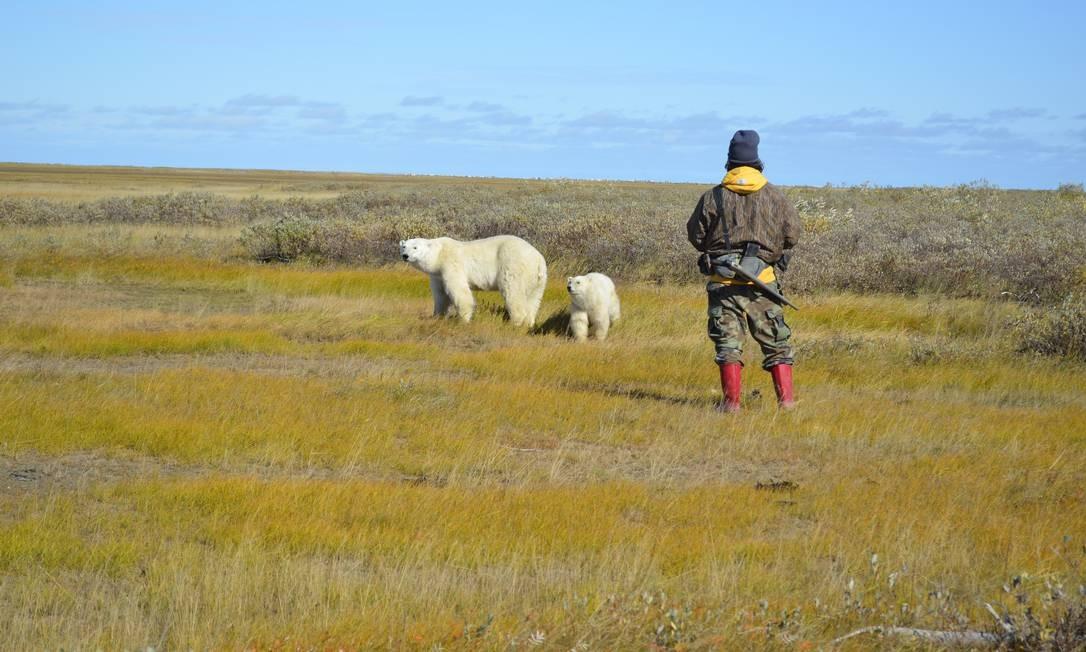 Ursos polares na Baía de Hudson, próximo a Churchill, no Canadá Foto: Cristina Massari/09-10-2013