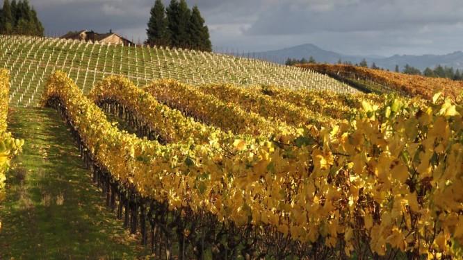Cultivo da uva chardonnay, na Califórnia: fungos e bactérias que aderem à casca da fruta influenciam qualidade do vinho Foto: Craig Lee/The New York Times