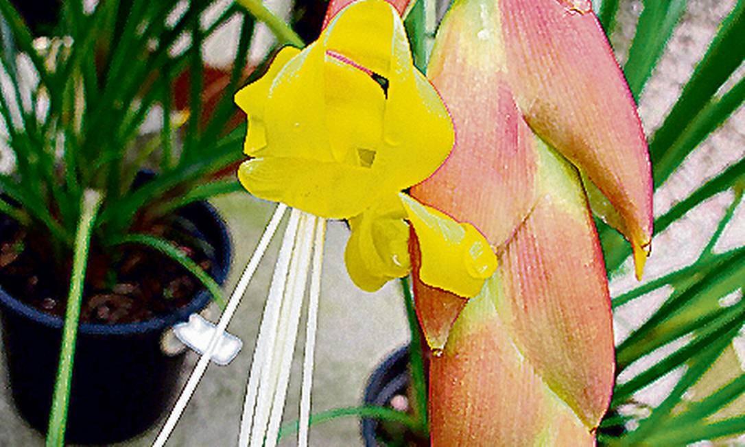 'Alcantarea farneyi': bromélia de flor amarela tem grande risco de extinção Foto: Divulgação/Jardim Botânico