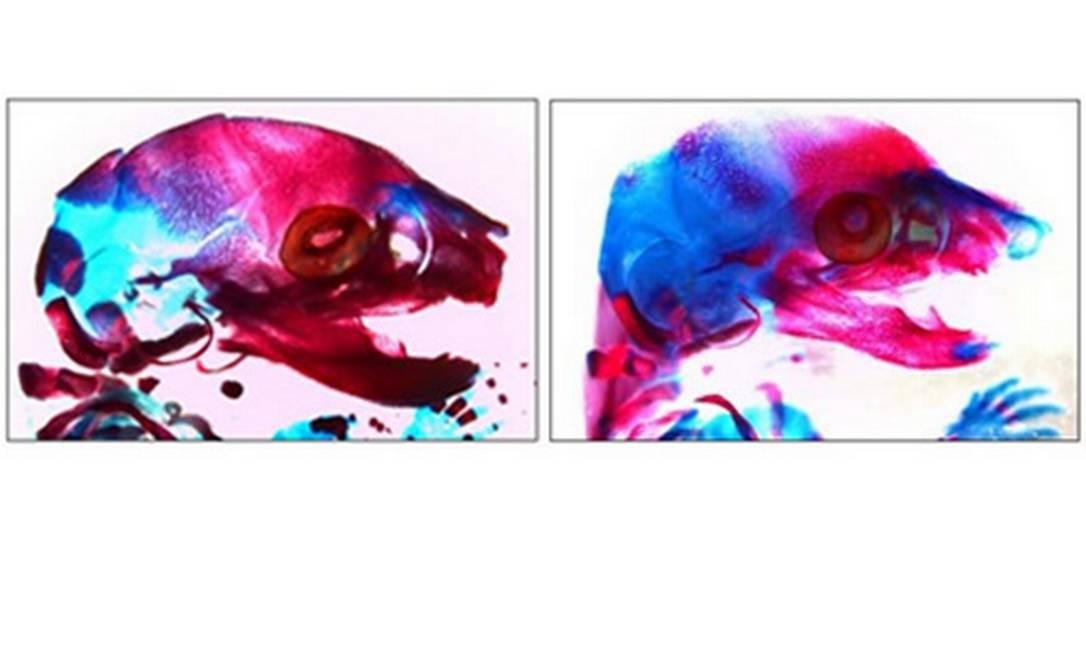 Na imagem da esquerda, o desenvolvimento crâniofacial normal, de um camundongo de uma prole cujo macho tinha bom nível de folato no organismo; na da direita, anormalidades crâniofaciais decorrentes da deficiência de ácido fólico Foto: Divulgação