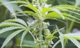 Flor de cannabis sativa, planta que contém grupo de moléculas canadinoides