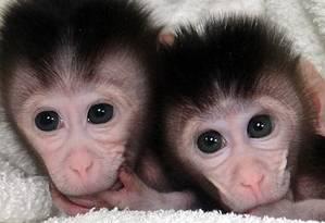Gêmeos de macacos cinomologos criados em laboratório por pesquisadores chineses são modelos próximos dos seres humanos Foto: Divulgação