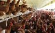 Criação orgânica de frangos: animais comem ração e não recebem antibióticos ou promotores de crescimento