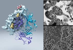 Modelo em 3D da Proteína M ligada a um anticorpo, tendo ao lado imagens de microscópio de infecções de células humanas pela M. genitalium: bactéria desenvolveu o mecanismo de invasão perfeito Foto: Divulgação/ScienceInstituto de Pesquisas Scripps
