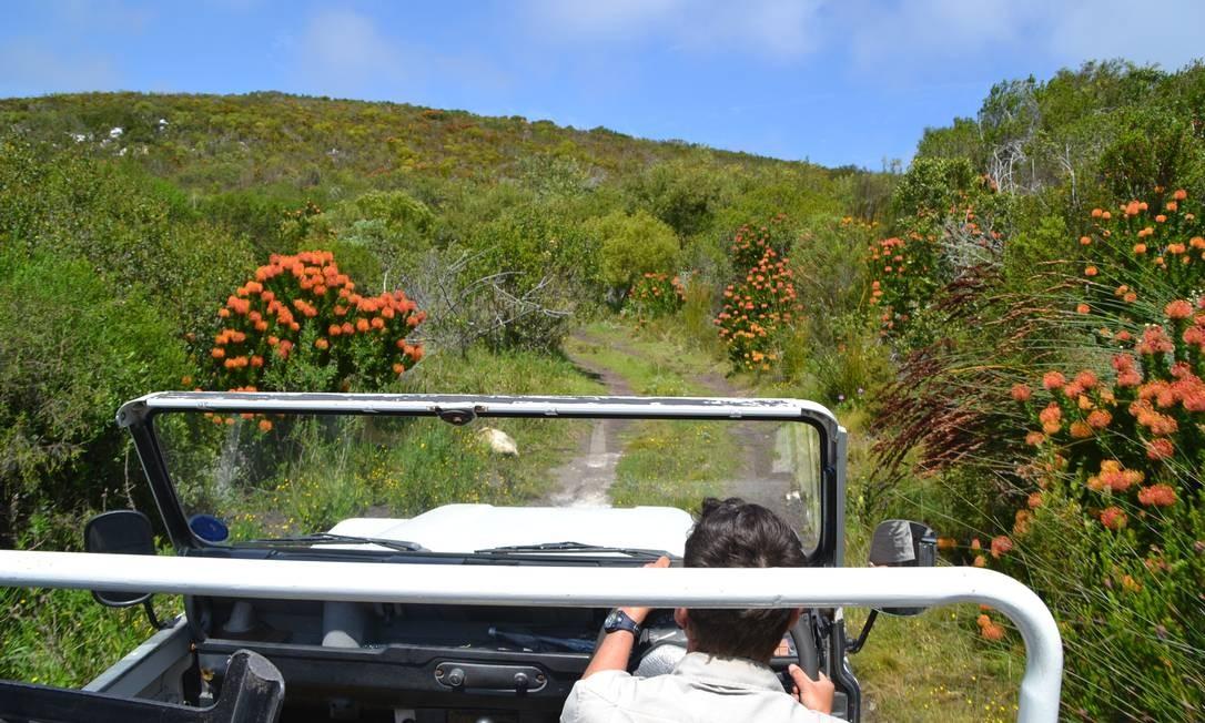 Em Grootbos, safáris acontecem para ver a vegetação de fynbos, vegetação natural que ocorre em um cinturão do Cabo Ocidental da África do Sul Foto: Mari Campos / Especial para O Globo