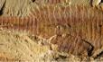 Imagem mostra o dorso de Fuxianhuia protensa