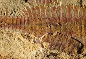 Imagem mostra o dorso de Fuxianhuia protensa Foto: Xiaoya Ma