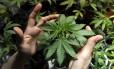 Muda de Cannabis Sativa em plantação no Uruguai