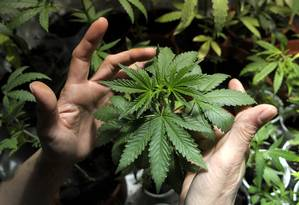 Muda de Cannabis Sativa em plantação no Uruguai Foto: Matilde Campodonico / AP