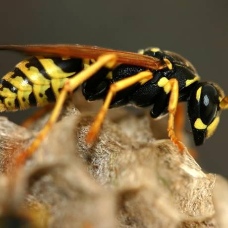 A anafilaxia pode ser desencadeada pela picada de abelhas Foto: StockPhoto