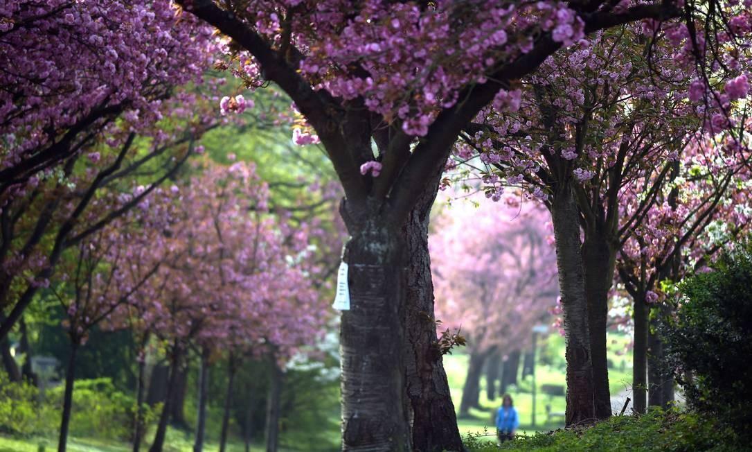 As cerejeiras tinjem de rosa o parque em Colônia, na Alemanha FEDERICO GAMBARINI / AFP
