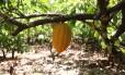 Pé de cacau em Tomé-Açu, um dos principais produtores do Pará