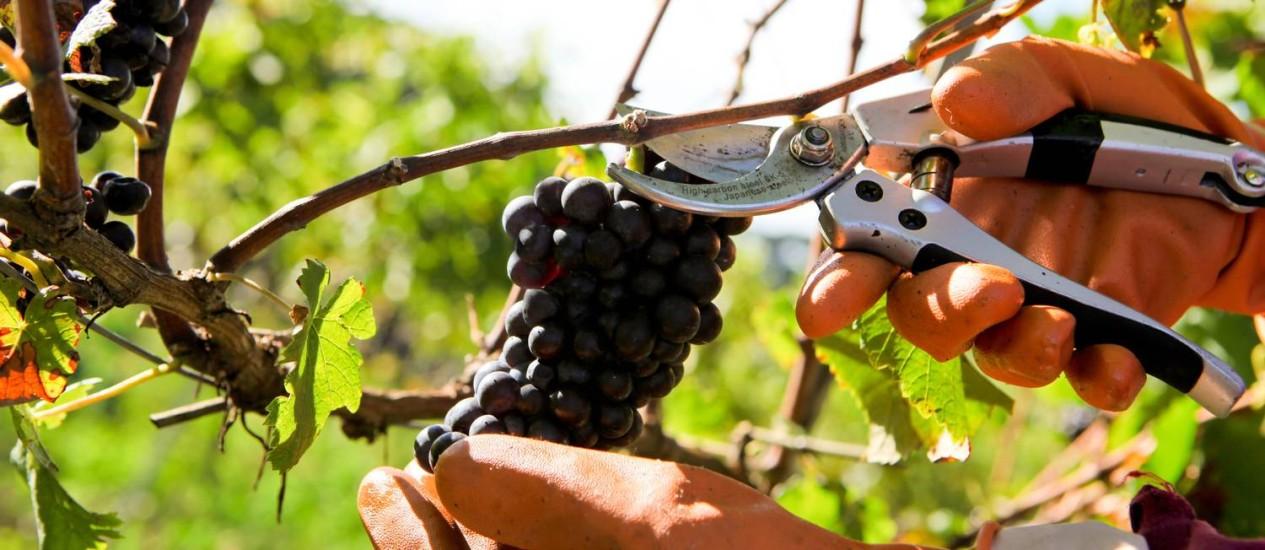Vinhedo no Rio Grande do Sul: plantio de uvas no Brasil não chega a 25% da área destinada ao cultivo na Argentina e no Chile Foto: Divulgação