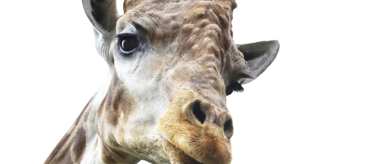 A Girafa Zagallo, que está em busca de uma namorada Foto: Ana Branco / Agência O Globo