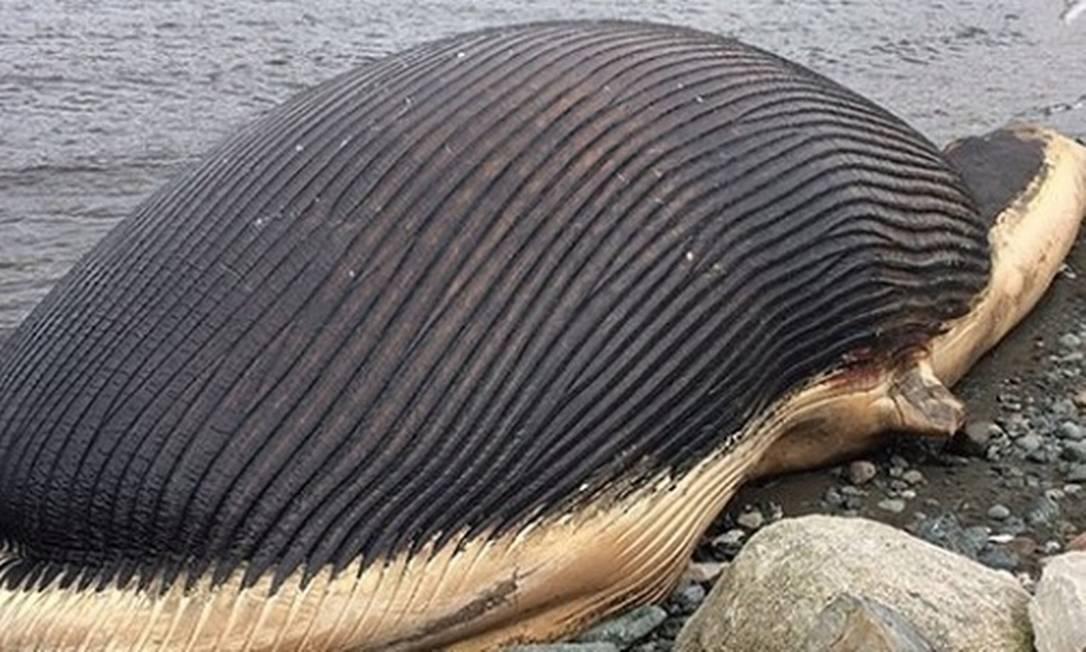Baleia azul encalhada no Canadá preocupa autoridades locais Foto: / Reprodução/Don Bradshaw/NTV