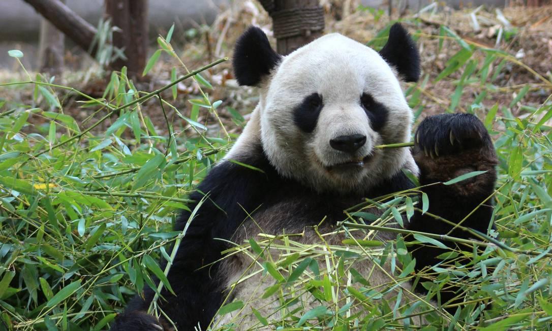 Panda-gigante em uma reserva natural nos arredores de Chengdu, na Chia Foto: Carla Lencastre / O Globo