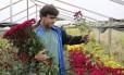 Flor o ano todo. O floricultor Carlos Alberto da Silveira durante colheita no Sítio São João, em Stucky, em Nova Friburgo