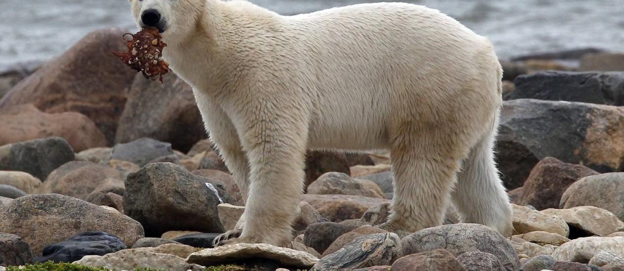 Urso precisou se adaptar a ambiente gelado Foto: CHRIS WATTIE/REUTERS