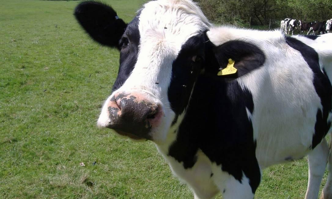 A vaca louca é fatal para os bovinos Foto: Agência O Globo